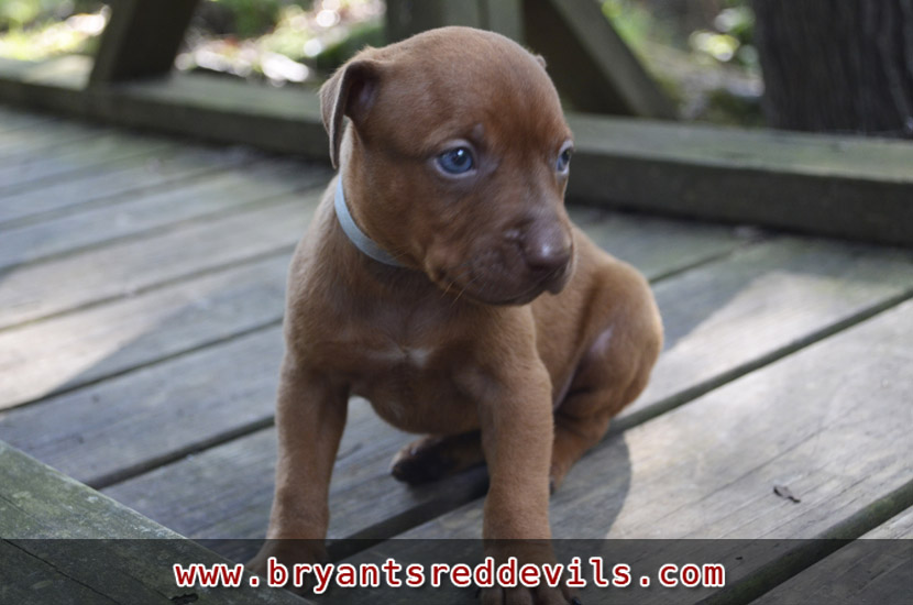 Red Nose Pit Bull Puppies