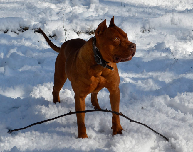 Red Red Nose Pit Bull