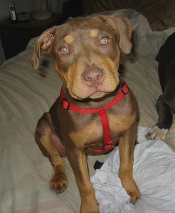 Tri-Color Female Red Nose Pit Bull