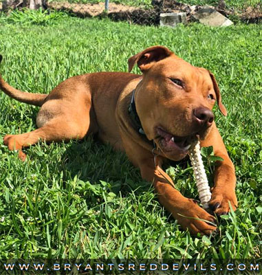 8 Month Old Male Red Nose Pit Bull