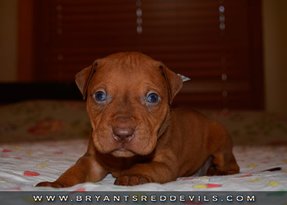 Male Red Nose Pit Bull Puppy