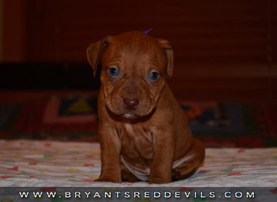 Female Red Nose Pit Bull Puppy
