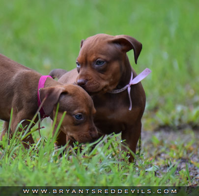 Female Red Nose Pit Bull Puppy For Sale