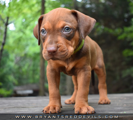 Male Red Nose Pit Bull Puppy For Sale