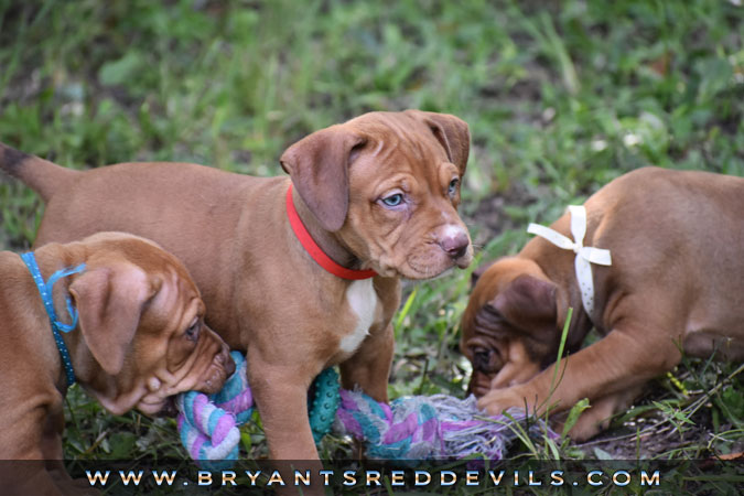 Red Nose Pit Bull Puppies For Sale