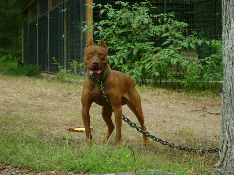 Bryant's Red Devils Old Family Red Nose Pit Bull Breeders/Kennels in