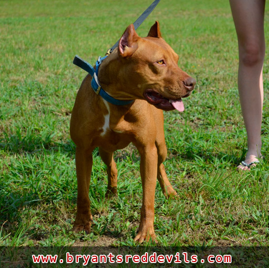 Apocalypse a Male Red Nose Pit Bull