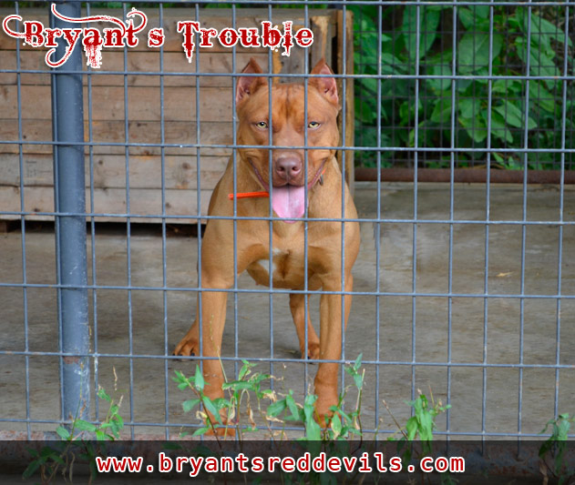 Trouble a Female Red Nose Pit Bull