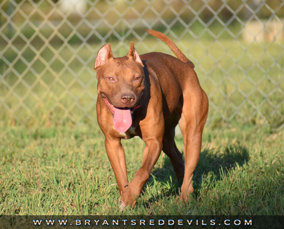 Vixen a Female Red Nose Pit Bull