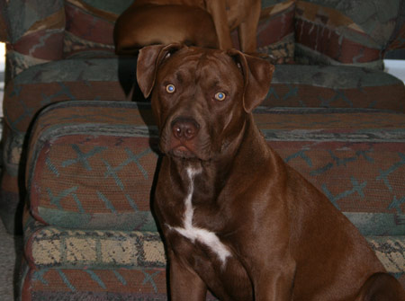 Chocolate Red Nose Pit Bull