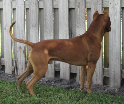 Male Red Nose Pit Bull